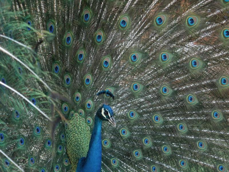 peacock-11